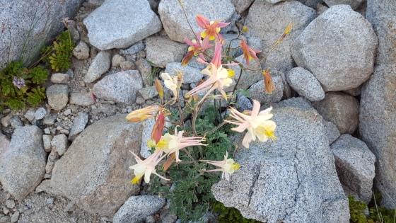 Columbine Wildflower