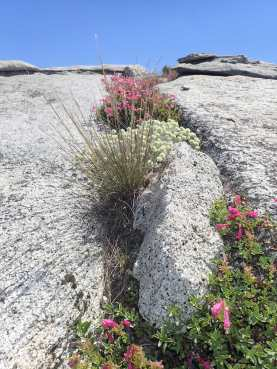 Half Dome ~ 8,836' Thursday, June 30th, 2016 Flowers on top of the Dome