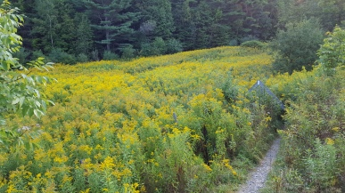 Goldenrod, small pasture, climbing over stiles, barbed wire fences VT 103 road crossing Looking north on LT