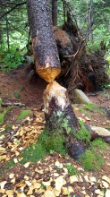 Evidence of beavers