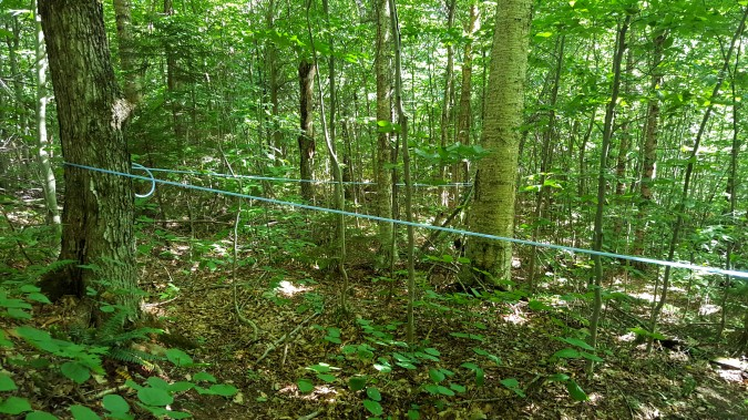 Maple syrup tube sapling system The trail goes under several