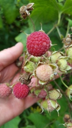 Berries from the Purple Flowering Raspberry...looks edible but they are not!