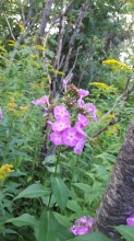 Wild Phlox growing beside the trail